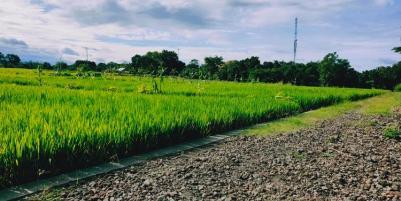 Tanah Sawah Subur Mojogedang Karanganyar