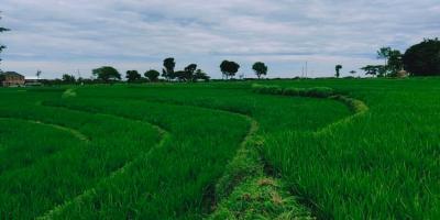 Tanah Sawah Pekarangan Karangpelem Kedawung Sragen