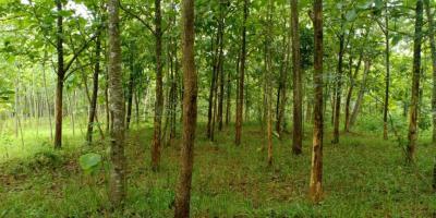 Tanah Datar Kebun Jati Subur Kerjo Karanganyar
